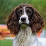 Susie | Engelse Springer Spaniel