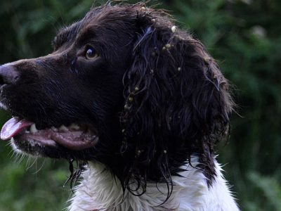 Swift-Engelse-springer-spaniel