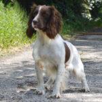 Milly | Engelse Springer Spaniel