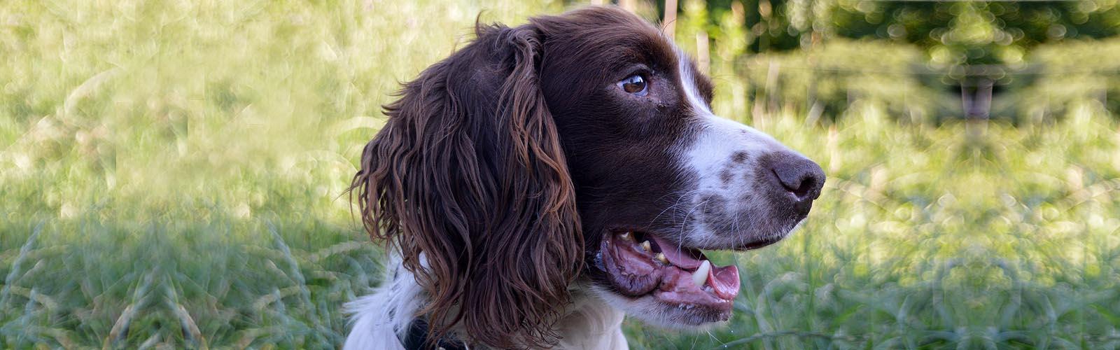 Jake - Engelse Springer Spaniel