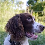 Jake-Engelse-Springer-Spaniel
